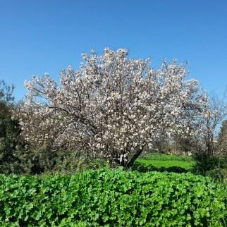 עץ ותיק בפריחה