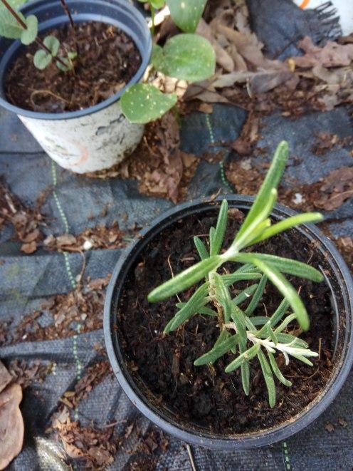 צמח רוזמרין צעיר, וגם נענע- הייחורים נקלטו