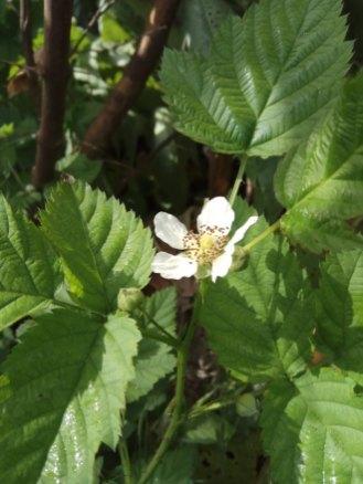 פטל- קדוש- צמח בר.פרח מקרוב