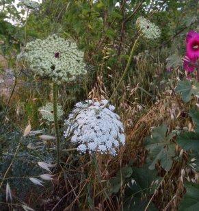 גזר קיפח, שלבים של התפתחות הסוכך צמח בר בולט בנוף