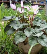 Plant of cyclamen in bloom. Photographed in January