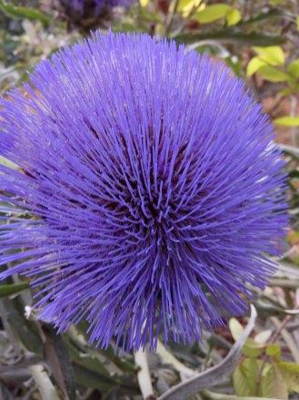 ארטישוק. (קנרס) -הפרחים צינוריים Artichoke