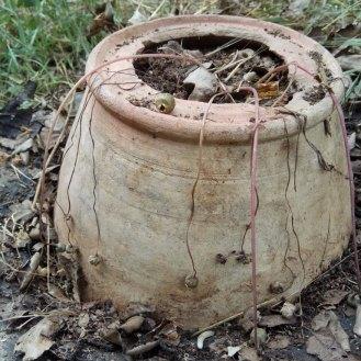 כדורי זרעים יבשים של רקפת בר, וזרעים בתוכם. .מוכנים לפיזור זרעים. וגם לאסיף