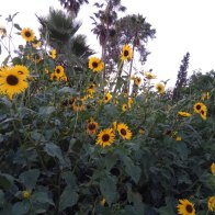 חמנית מצויה- צמח נוי שהפך גם צמח בר בשולי דרכים ומעזבות.