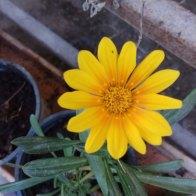 גזניה- צמח משתרע , מהמורכבים