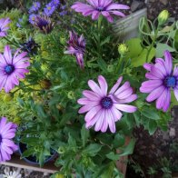 גרמית- פרח נוי
