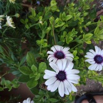 גרמית- פרח נוי מהמורכבים