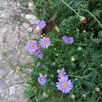 חרצית- צמח נוי- יש מינים רבים, במגוון צורות וצבעים