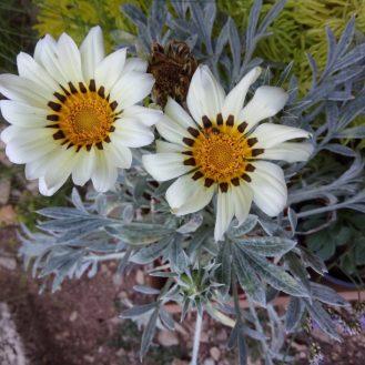 גזניה (פרחי שמש) צמח נוי