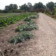 ראשית התחדשות שורת צמחי ארטישוק לצד הדרך