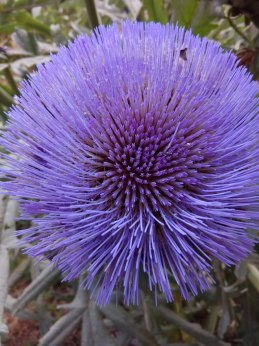 The flower of the artichoke is made up of lots of small flowers