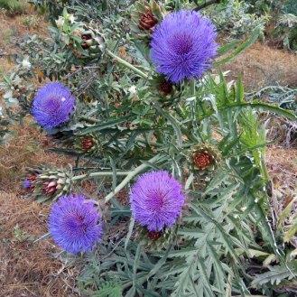צמח ארטישוק נושא פרחים ופירות
