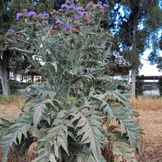 צמח גדול מאד של חרשוף , בפריחה תחילת יוני