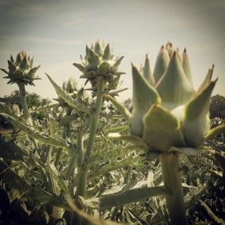 פרי ארטישוק- מבוגר קצת, עבר את שלב הקטיף צילום- מיה לפיד