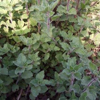 אורגנו- עלי הצמח משמשים לתיבול בבישול