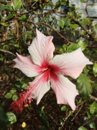 שיח נוי של היביסקוס- הפרח גדול ומאוד בולט לעין