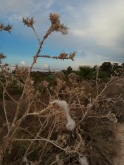A dry thorn plant in late summer With cotton pieces ,