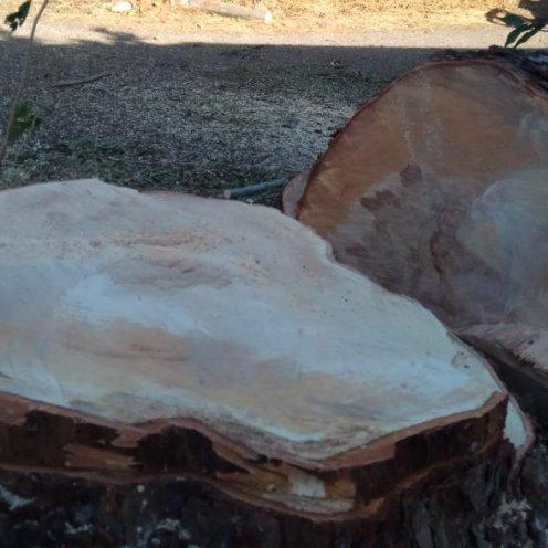 גזע עץ פקאן ותיק, פרידה עצובה...