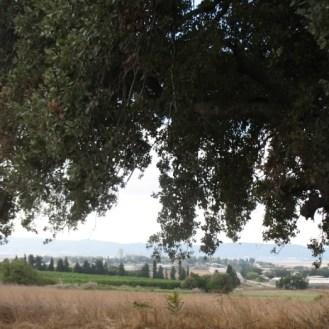 אלון תבור וותיק עם נוף רחב בשדות כפר יהושע