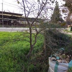 עץ אלון תבור צעיר, צימוח מרווח