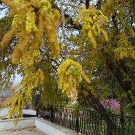 פריחה זכרית שופעת - עץ אלון תבור סמוך לבית