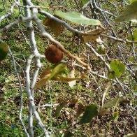 עפץ על ענף, צורה אחת מיני רבות