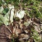 ניצנים ועלי רקפת יוצאים ישר מהפקעת . הצמח ללא גבעול.