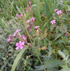צפורנית מצרית מפזרת זרעים די מהר , ואם רוצים לאסוף, כדאי לבקר את הצמחים תוך כדי הפריחה.