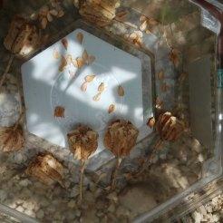 הלקטים וזרעים- גביעונית הלבנון. איסוף זרעים לריבוי