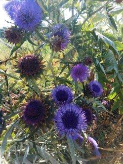 Artichoke - flowers