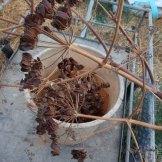 זרעים של כלח- צמח בר. ינבטו בחורף של השנה הבאה