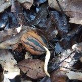נביטת אגוז פקאן- נובט בסוף החורף, באותה השנה בה נשר מהעץ בסתיו.