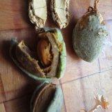 עטיפות הזרעים של שקדים