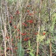 אספרגוס בסוף עונת הגידול, פירות בשלים, גבעולים מתייבשים