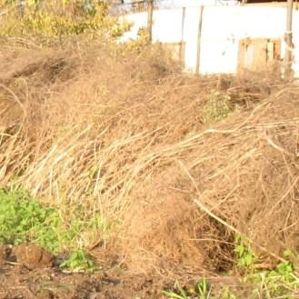ערוגת אספרגוס בינואר- הצמחים יבשים