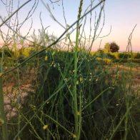 גבעול אספרגוס שמתחיל להסתעף