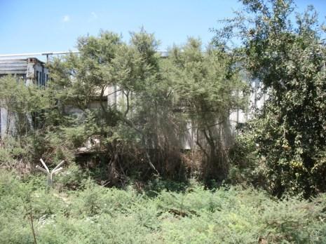 ענפי ינבוט שהפכו למעין עצים, אחרי שנים צולם בכפר יהושע.