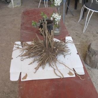 שורש אספרגוס שנעקר בגינה והתייבש, מונח כמוצג לימודי. כלפי מעלה גבעולים. ( לא אספרגוס מאכל אלא אספרגוס מנוצה) גוש השורשים מדגים את אופי שורשי האספרגוס
