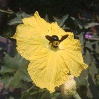 דבורת עץ על פרח לופה