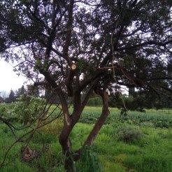 הגבהת נוף באלת מסטיק , בתהליך עיצוב כעץ. יכולה להפוך לעץ של ממש.