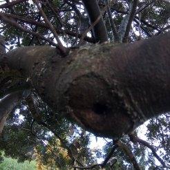 הגלדה של חתך, של ענף שנגזם. התכסה בקליפה