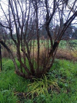 עץ רימון עם הרבה גזעים וצימוח מומלץ לעצב.