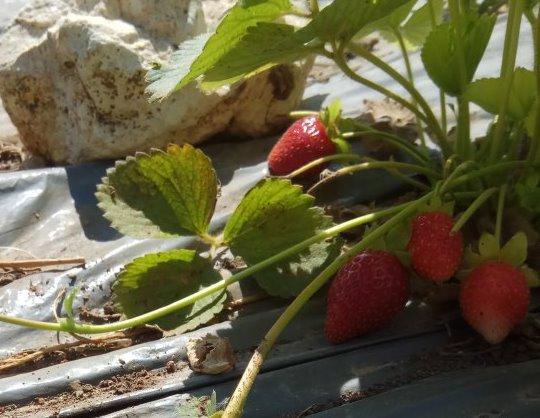 מקבץ תותי שדה בשלים