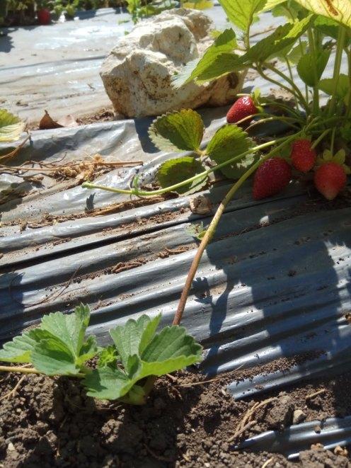 תות שדה- פירות בשלים - אדומים ושלוחת ריבוי- עם שתיל