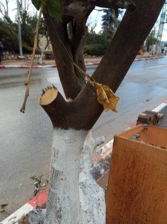 גזע עץ הדר, שהועתק לרחוב עירוני, הושא גדם גדול מהענף. גיזום לא נכון, הגדם עלול להיות מקור לחדירת מזיקים אל העץ.
