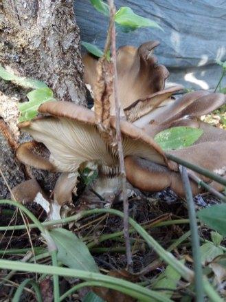 פטריה על תפוח במשתלה Wood mushrooms
