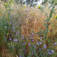 צמחי עולש בסביבת צמחי בר אחרים