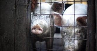 Polski rolnik zjedzony przez własne świnie. Irlandzkie media w szoku