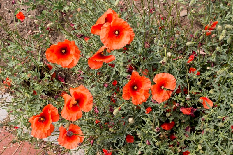 Things to do in Olomouc, Czech Republic, in half a day | Poppies in the rosarium