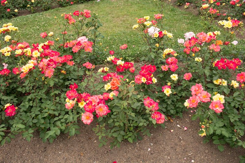 Roses on Petrin Hill in Prague